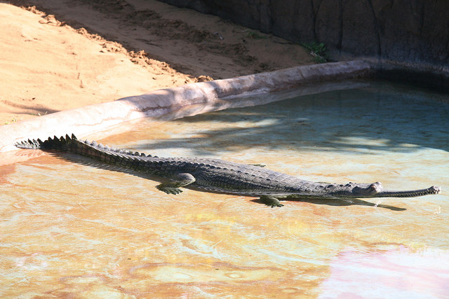 Gharial. Photo by Cliff