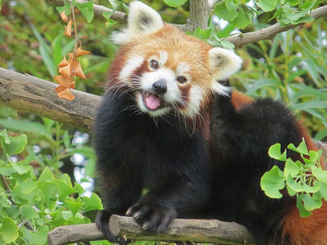 red panda India's Cup