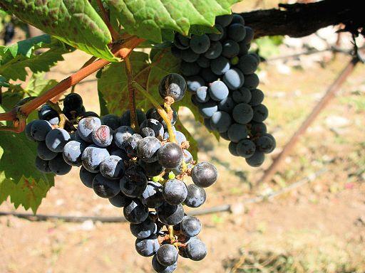 Those Grapes! Photo Credit: Ipshita Bhattacharya