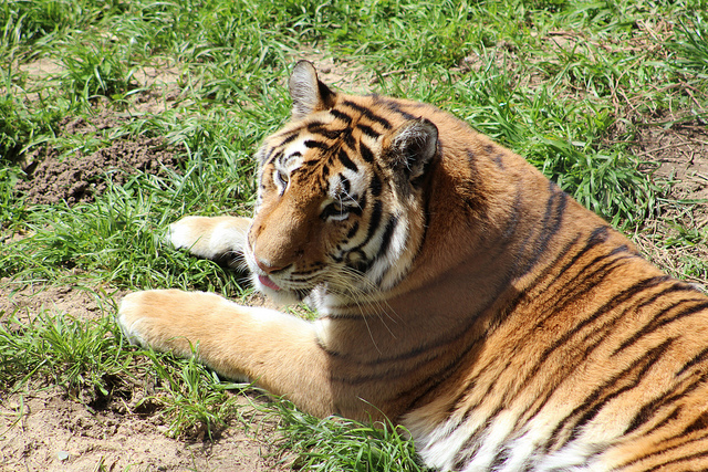 Tigers R Us. Photo Credit: Jeffry
